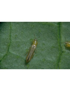 Lutte thrips, acariens -...